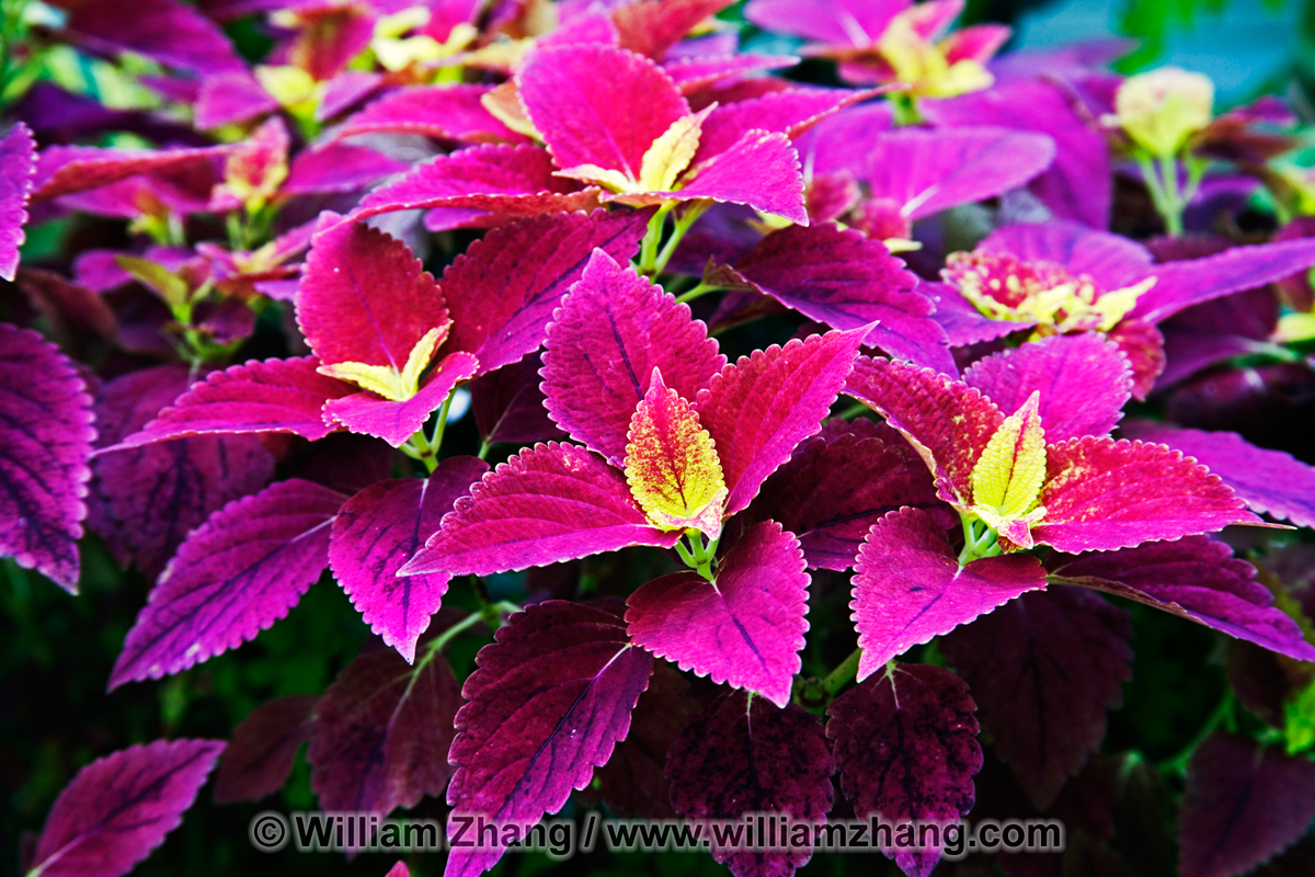 Coleus Plant At Conservatory Of Flowers San Francisco
