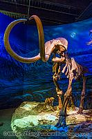 Curved tusks and long legs of mammoth in Royal Tyrrell Museum