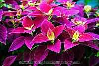 Coleus plant at Conservatory of Flowers. San Francisco