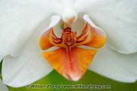 Close-up of white orchid at Conservatory of Flowers. San Francis