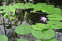 Lily pads and flower with reflection of roof at Conservatory of