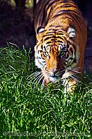 SF Zoo Siberian tiger stands in green grass. San Francisco, CA