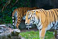 Front of one, rear of another tiger at SF Zoo. San Francisco, CA
