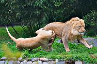 Lioness grabs leg of lion at SF Zoo. San Francisco, CA