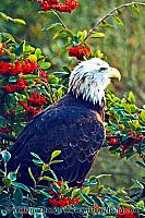 American bald eagle on branches at SF Zoo. San Francisco, CA