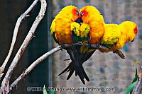 Sun conures on branch at SF Zoo. San Francisco, CA
