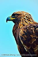 Profile of golden eagle at SF Zoo. San Francisco, CA