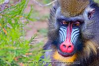 Mandrill shifts eyes at SF Zoo. San Francisco, CA