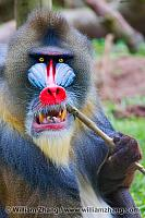 Mandrill holds stick at SF Zoo. San Francisco, CA