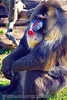 Mandrill in the sun at SF Zoo. San Francisco, CA