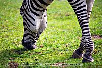 Head and legs of zebra at SF Zoo. San Francisco, CA