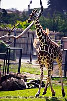 Galloping young giraffe at SF Zoo. San Francisco, CA
