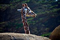 Giraffe looks out above the rocks at SF Zoo. San Francisco, CA