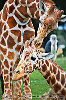 Baby giraffe touched by parent at SF Zoo. San Francisco, CA