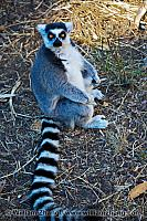 Seated ring-tailed lemur at SF Zoo. San Francisco, CA