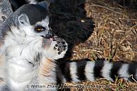 Pink tongue on ring-tailed lemur at SF Zoo. San Francisco, CA