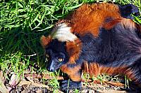 Sunshine on red-ruffed lemur at SF Zoo. San Francisco, CA