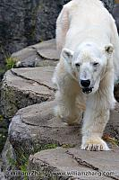 Large paw of polar bear at SF Zoo. San Francisco, CA